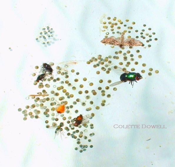 Tree frog tadpoles living with dead insects in the water of swimming pool that does not contain chlorine. Photographs of the tadpoles and tree frogs taken by Colette Dowell