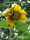 Fukushima perfect Sunflower not mutated radiation deformed nuclear plant flower